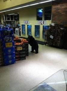 mammoth outdoor store bear in vons